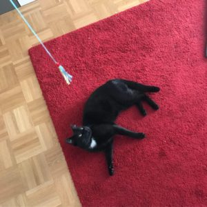 Black cat lying on red carpet, eyeing a toy hanging above him