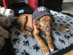 Rhodesian Ridgeback puppy Shida wearing a NYC baseball cap